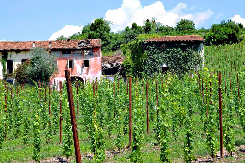 A Vineyard near Venice