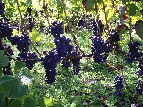Italian Ice Wine