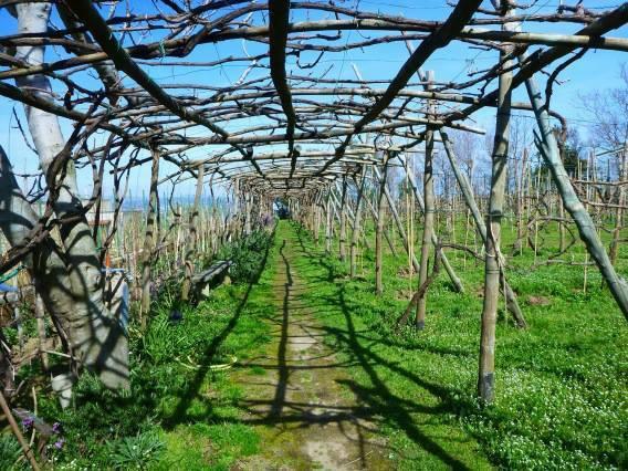 Procida Island Vineyard
